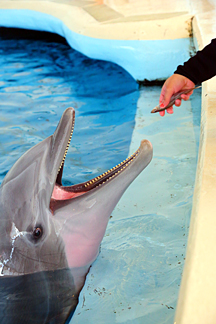 Dolphin feeding time. Photo by George Graul/National Aquarium